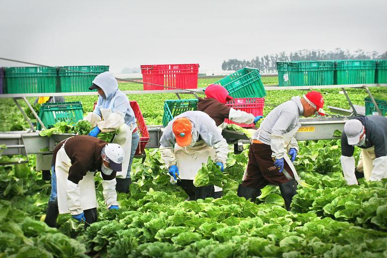 Farm Workers Harvesting Lettuce Salinas Valley